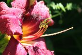 Wet Day Lily poster