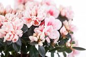 Blossoming cream-white azaleas