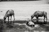 Bubalus Arnee Cattle In The Water