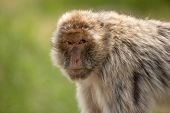 Berber Monkey On A Green Background