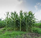 stock photo of corn-silk  - Cultivation of corn or maize field in Thailand - JPG