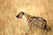 stock photo of spotted dog  - Portrait shot of the sneaky spotted hyena - JPG