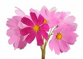 Multicolored Garden Cosmos Flowers On White Background
