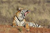 Yawning Bengal Tiger