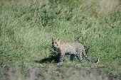 Leopard on patrol