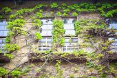 Window with the creeping ivy