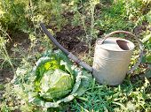 Watering Can And Cabbage In Garden