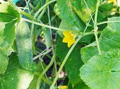 Yellow Flower And Green Cucumber In Garden