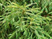 Green Spruce Tree Branch