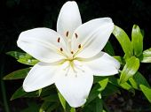 Above View Of White Bloom Lilium Close Up Outdoors