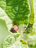 picture of potato bug  - colorado potato beetle larva in potatoes leaves in garden - JPG