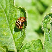 picture of potato bug  - colorado potato bug eats potatoes leaves in garden - JPG