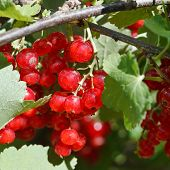 Many Red Currant Berries Close Up In Green Bush