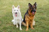stock photo of swiss shepherd dog  - White Swiss and German Shepherds sitting on the grass - JPG