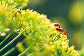 Two Soldier Beetles On Yellow Dill Flowers