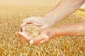 Rustic Worker Hands Hold Seeds On Wheat Field