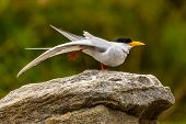 River Tern Standing on One Leg