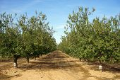foto of row trees  - Rows of peach trees in orchard in Israel - JPG
