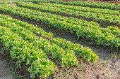 Lettuce In Plots