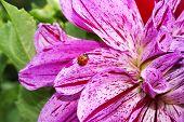Ladybug on a beautiful flower