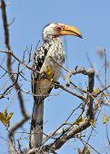 Southern Yellowbilled Hornbill; Tockus Leucomelas