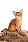 Abyssinian Kitten Sits On Pillow