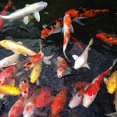 foto of koi fish  - Japanese Koi Carps Fish  - JPG