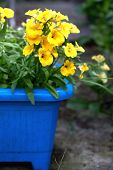 Yelow Nemesia Flowers Close Up In A Blue Flowerpot