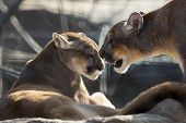 foto of mountain lion  - close up of a mountain lion couple showing affection - JPG