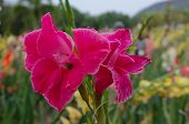 image of gladiolus  - single red gladiolus flower in the garden - JPG
