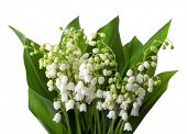 Lilies of the Valley with leaves   isolated on a white background.