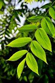 Walnut Leaves In Spring