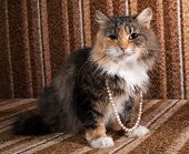 Tricolor Cat With Beads Around His Neck Sitting On  Couch