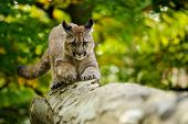 pic of cougar  - Cougar on fallen tree trunk in green forest from front view  - JPG