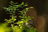 stock photo of small-hawk  - Eurasian pygmy owl next to the bilberry plant - JPG
