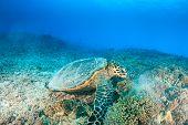 Hawksbill Turtle Feeding on a Reef