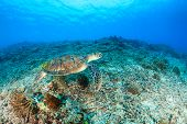 stock photo of green turtle  - Green Turtle swimming over a tropical coral reef - JPG