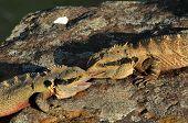 Australian Eastern Water Dragons
