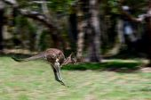 Eastern Grey Kangaroo Jumps