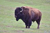 Lone Bison Bull in Green Pasture