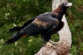 Majestic Wedge-tailed Eagle