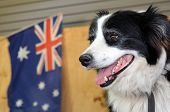 stock photo of collie  - Border Collie Sheep Dog in Australian Sheep shearing farm in Queensland Australia - JPG