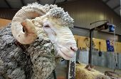 Male Merino Sheep