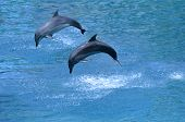 Two Dolphin Leap Out Of The Water I