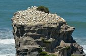 pic of gannet  - Motutara Island at Muriwai gannet colony in Muriwai Regional Park New Zealand - JPG