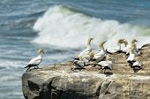 Muriwai Gannet Colony - New Zealand