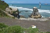 pic of gannet  - Muriwai gannet colony in Muriwai Regional Park New Zealand - JPG