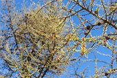 Larch Branches