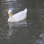 White Duck With Reflection In The Water
