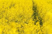picture of rape-seed  - Blooming canola field - Rape on the field in summer